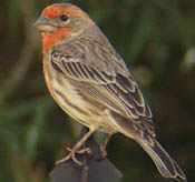 House Finch thumbnail