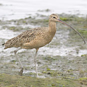 Long-billed Curlew thumbnail