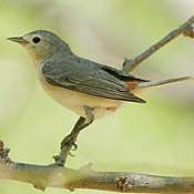 Lucy's Warbler thumbnail