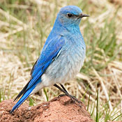 Mountain Bluebird thumbnail