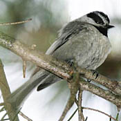 Mountain Chickadee thumbnail