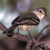 Northern Beardless-Tyrannulet thumbnail