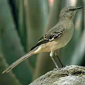 Northern Mockingbird thumbnail