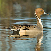Northern Pintail thumbnail