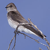 Northern Rough-winged Swallow thumbnail