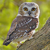 Northern Saw-whet Owl thumbnail