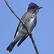 Olive-sided Flycatcher thumbnail