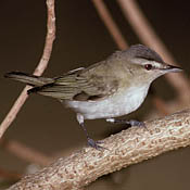 Red-eyed Vireo thumbnail