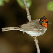Red-faced Warbler thumbnail