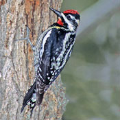 Red-naped Sapsucker thumbnail