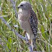 Red-shouldered Hawk thumbnail