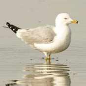 Ring-billed Gull thumbnail