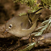 Ruby-crowned Kinglet thumbnail