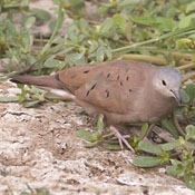 Ruddy Ground-Dove thumbnail