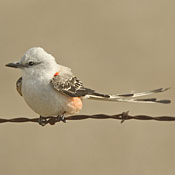 Scissor-tailed Flycatcher thumbnail