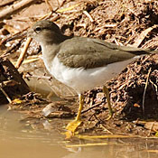 Spotted Sandpiper thumbnail