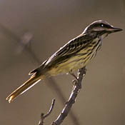 Sulphur-bellied Flycatcher thumbnail
