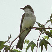 Thick-billed Kingbird thumbnail