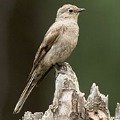 Townsend's Solitaire thumbnail