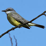 Tropical Kingbird thumbnail