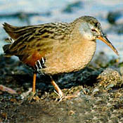 Virginia Rail thumbnail