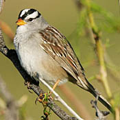 White-crowned Sparrow thumbnail