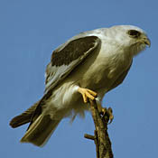 White-tailed Kite thumbnail