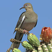 White-winged Dove thumbnail