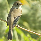 Willow Flycatcher thumbnail
