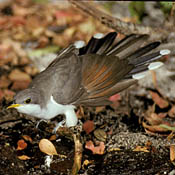 Yellow-billed Cuckoo thumbnail