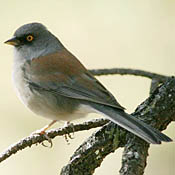 Yellow-eyed Junco thumbnail