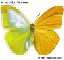 what butterflies see