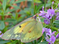 Female Orange Sulphurs Butterfly