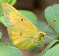 Male Orange Sulphurs Butterfly