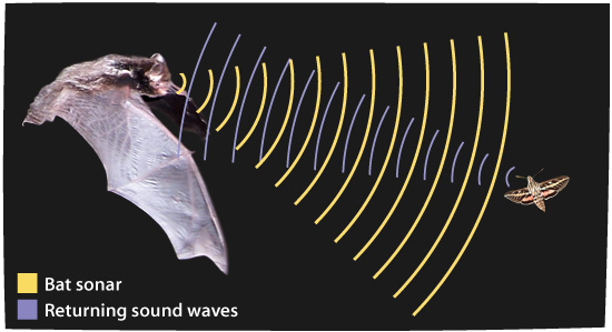 Image result for Bat echolocation