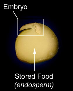 embryo,<br /> stored food