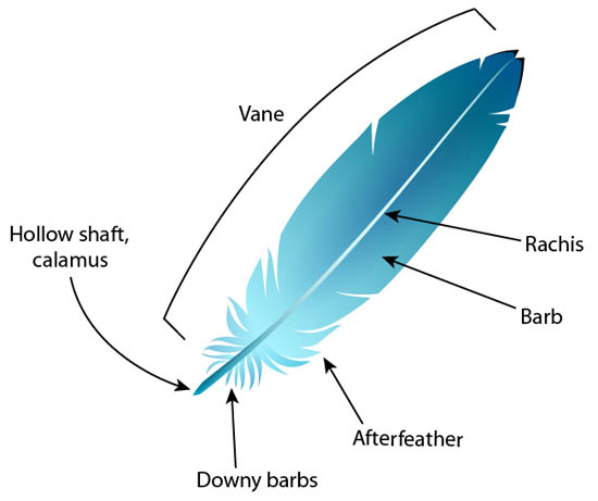 Flight Feather Diagram