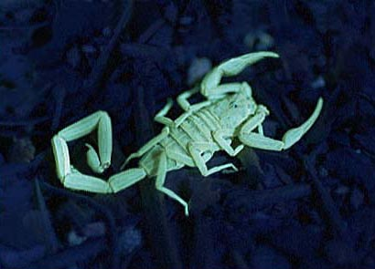 Bark Scorpion glows under ultraviolet (UV) Light.
