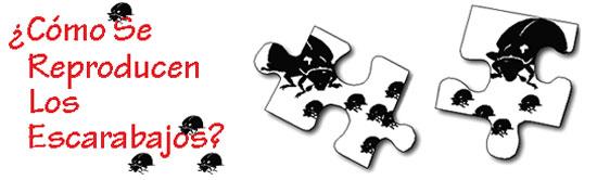 Como se reproducen los escarabajos?