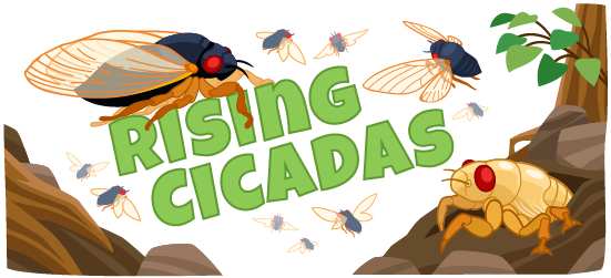 Rising Cicadas - a story about cicada broods, life cycles, and sounds