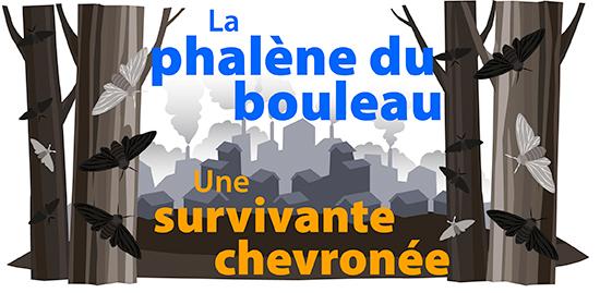 La phalene du bouleau: Une survivante chevronee