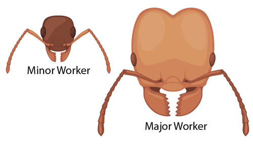 head of minor and major ant worker