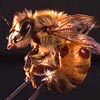bees thumb