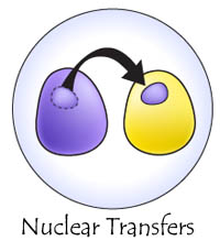 nuclear transfers