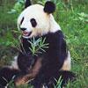 Pandas thumbnail