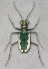 Cincindela Circumpicta Johnsoni