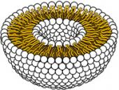 Liposome Cross Section