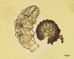 Just-hatched tardigrade next to a tardigrade egg