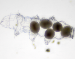 tardigrade molt with eggs