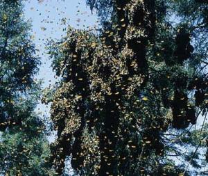 monarchs in tree